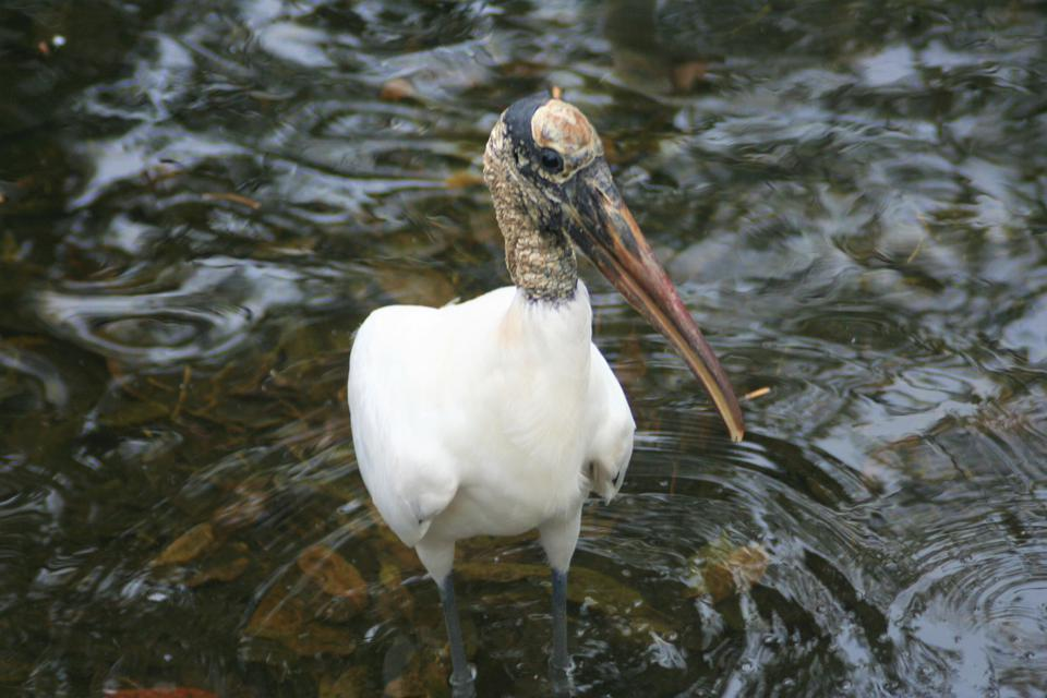 Wood storks were placed on the Endangered Species List in 1984.