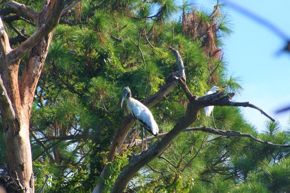 Wood Storks are found on Jekyll Island on Georgia's coast.