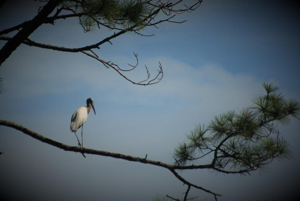 The wood stork is Georgia's only stork.