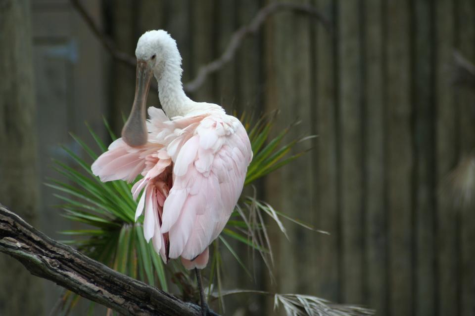 Roseate spoonbills live in coastal areas alongside wood storks.