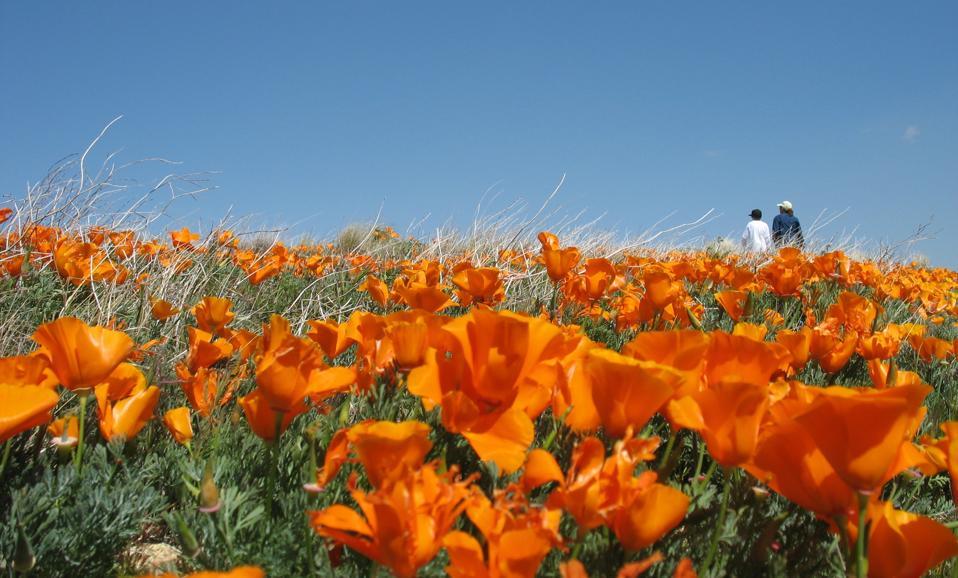 Coquelicots de Californie dans la vallée de l'antilope