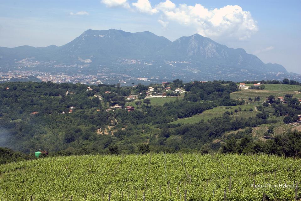 Fiano vineyard