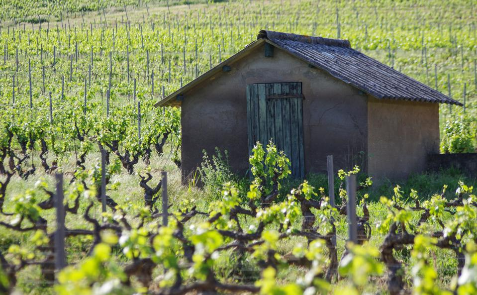 Provence wine, Provence rosé, sheep in the vineyard