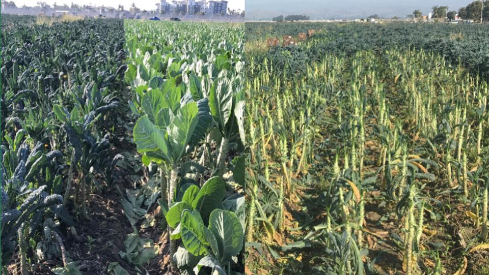 After harvesting without Full Harvest on the left. After harvesting with Full Harvest on the right.