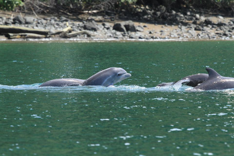 Pod of dolphins in Golfo Dulce, Costa Rica