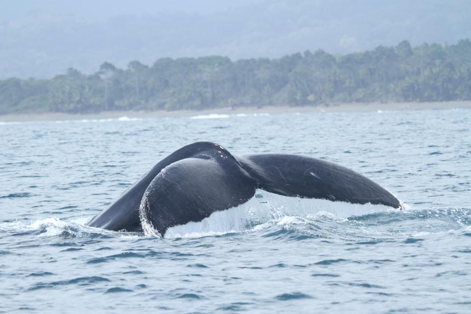 Fluke of a Humpback Whale, Golfo Dulce, Costa Rica