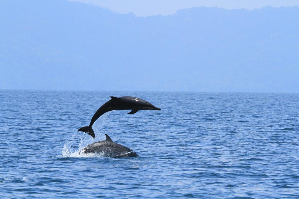 Playful dolphins in Golfo Dulce, Costa Rica