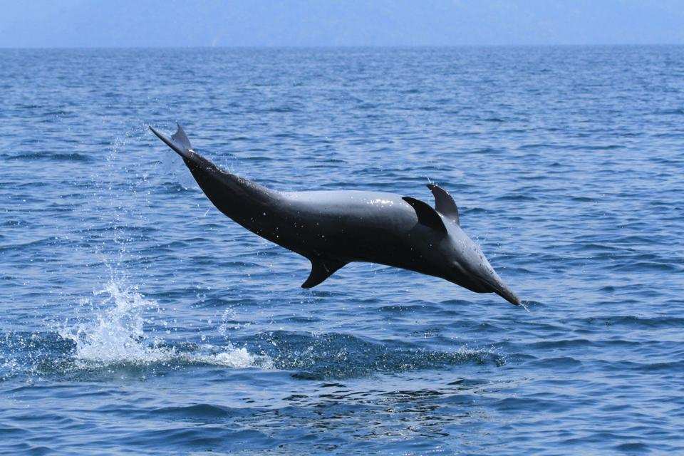 Dolphin spinning, Golfo Dulce, Costa Rica