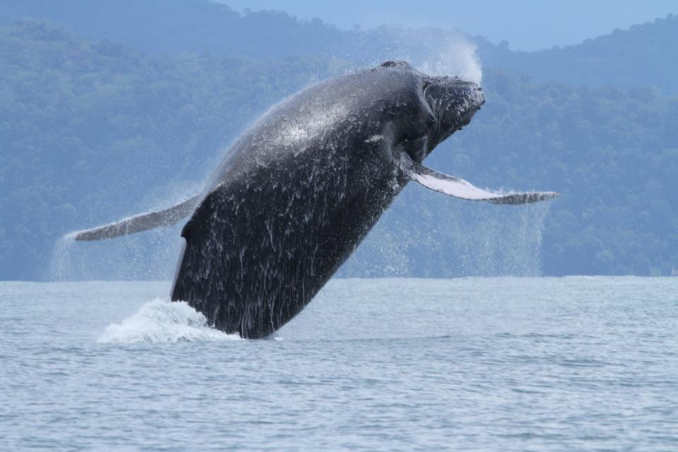 Humpback Whale, Golfo Dulce, Costa Rica