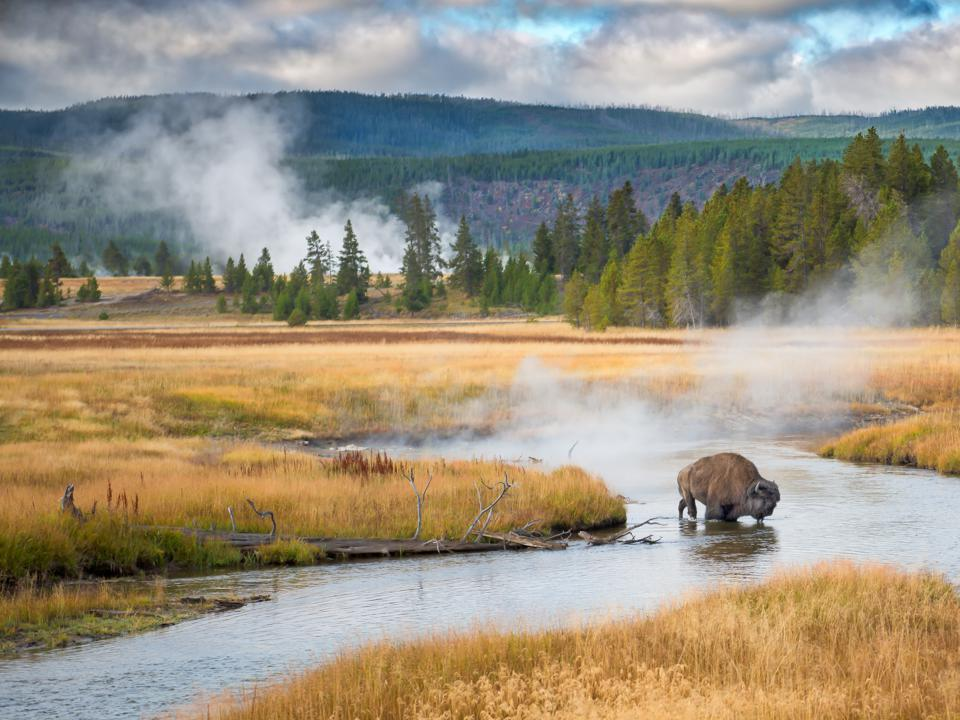 Bison drinks in Yellowstone National Park.