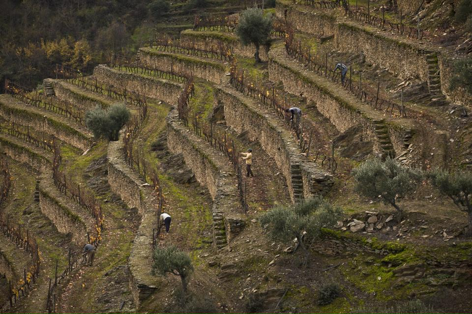Graham's Stone Terraces in the Douro Valley