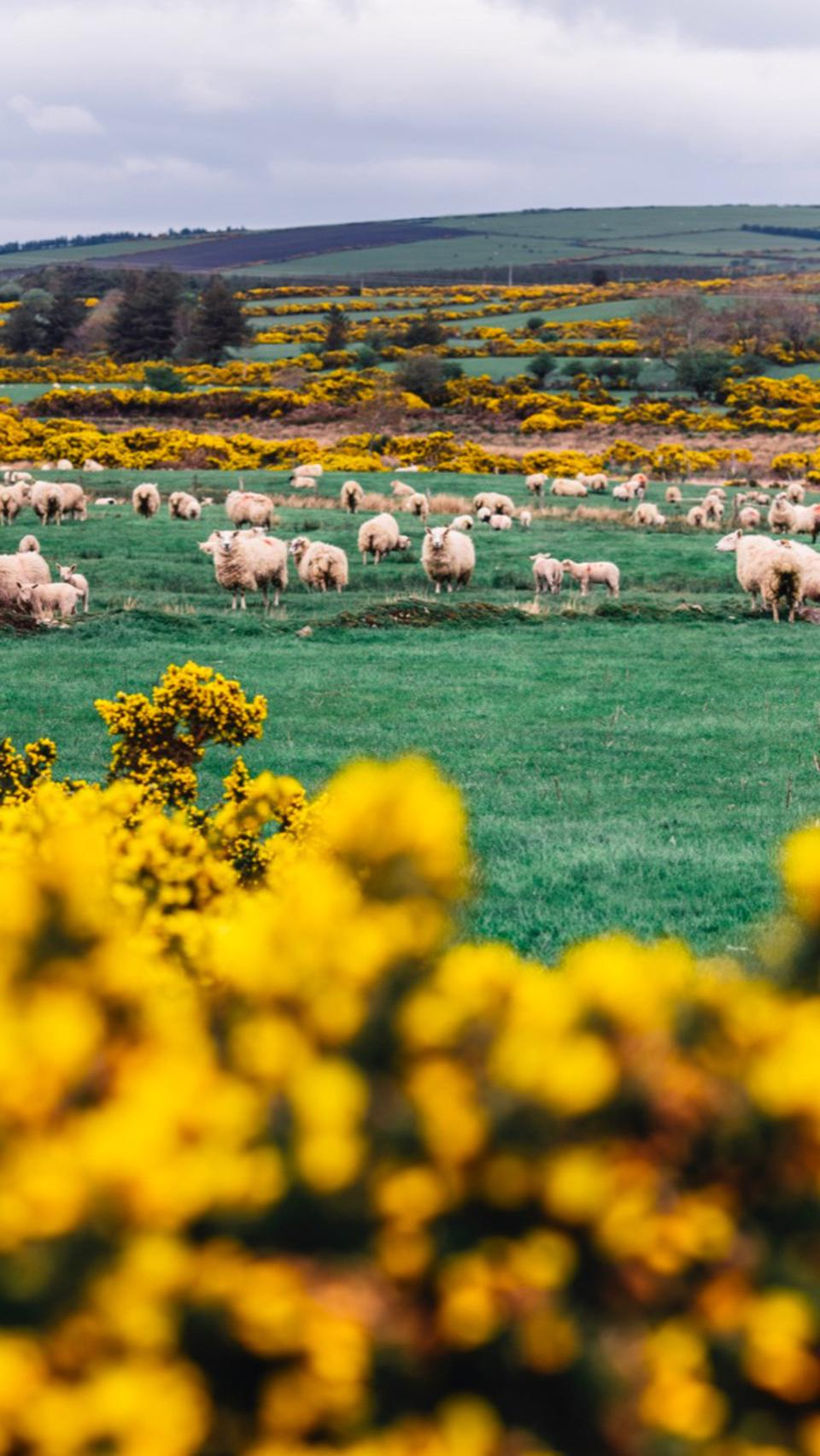 Sheep  in  meadow in Ireland with bright yellow flowers and green grass