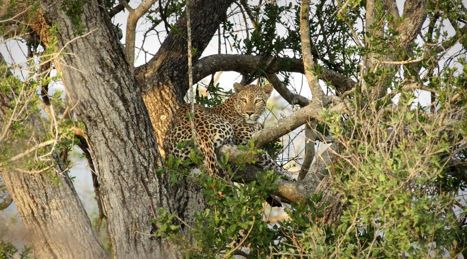 A leopard hanging in a tree