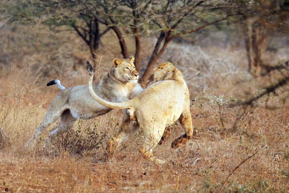 Lions in action on a game drive at Thanda Safari