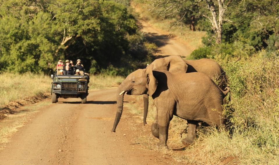 Young elephants about to cross the road