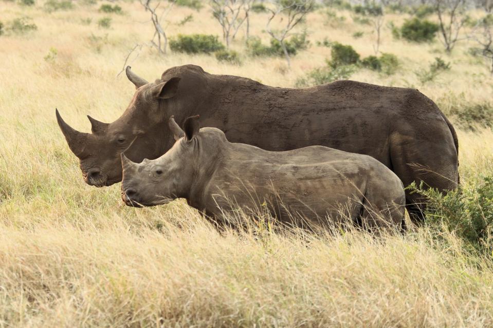 Two of Thanda's white rhinos