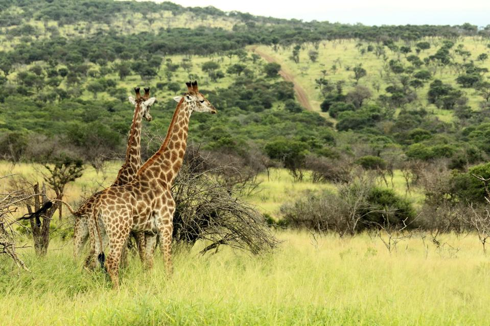 A pair of giraffes gazing into the distance