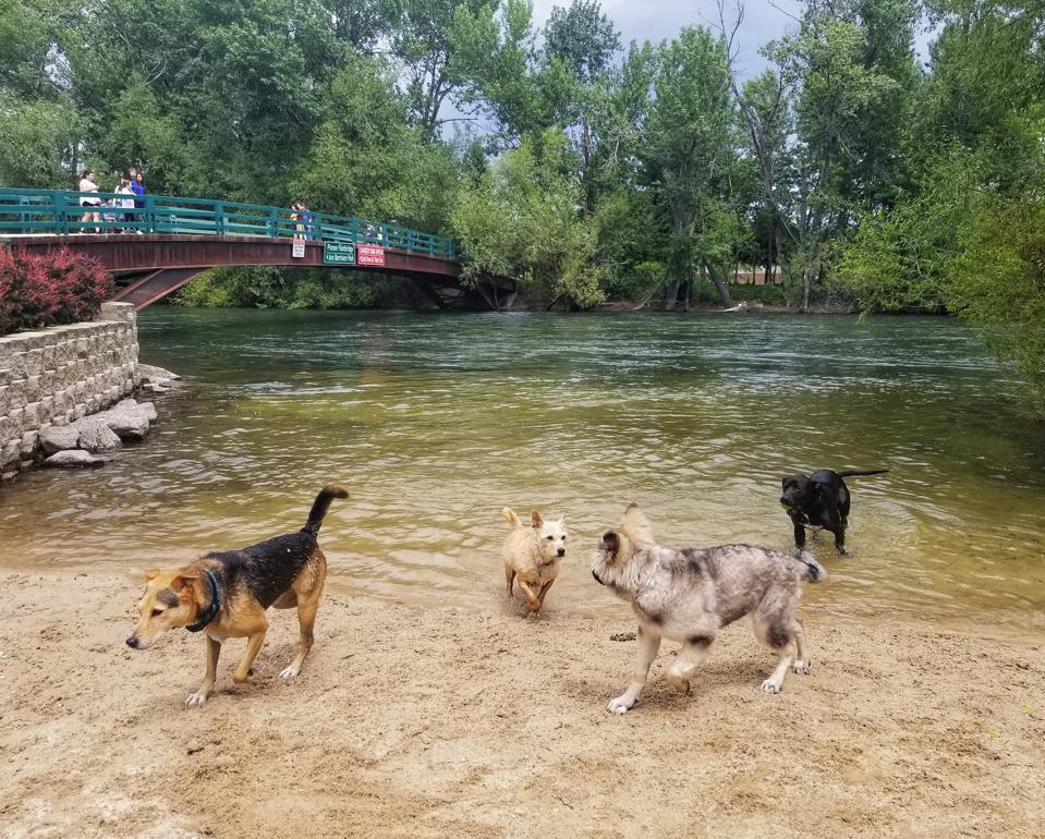 Dogs playing at the Boise River Greenbelt in Boise, Idaho.