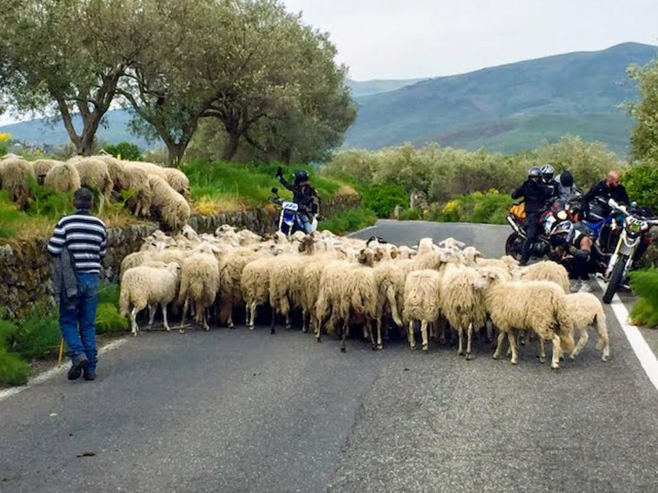 Meeting a clock of sheep on a country road