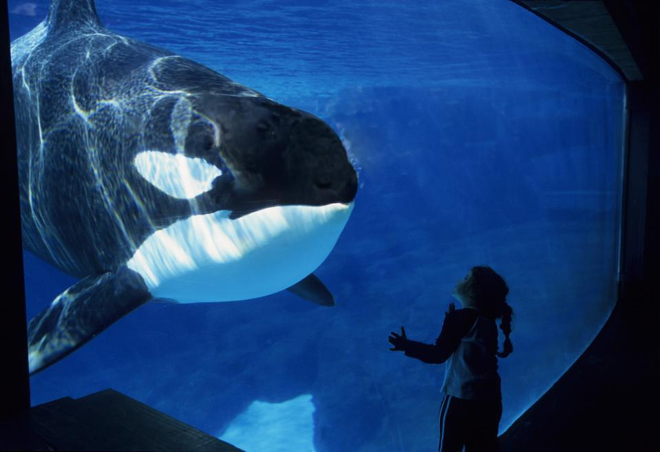 In the wild whales can live up to their 80s. In captivity, they average just 25-35 years.