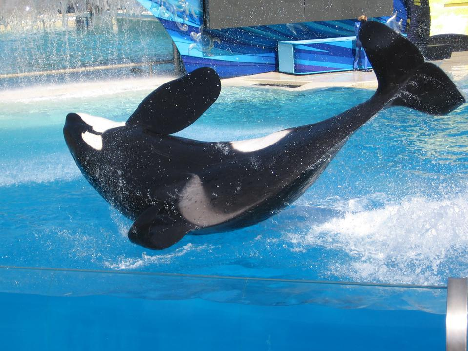 Orcas sell for up to $7 million each.