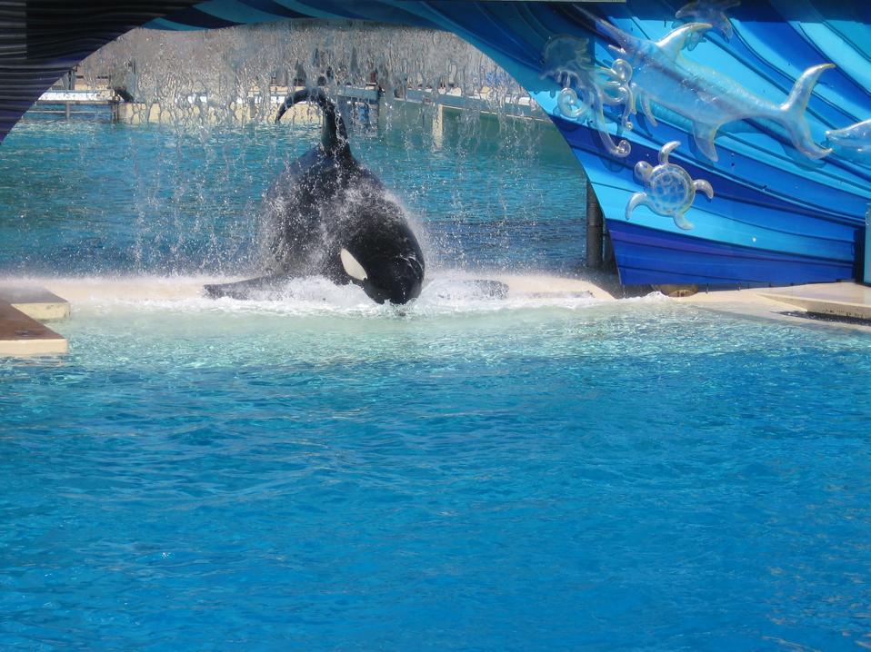 Orcas show stress in captivity in many ways.