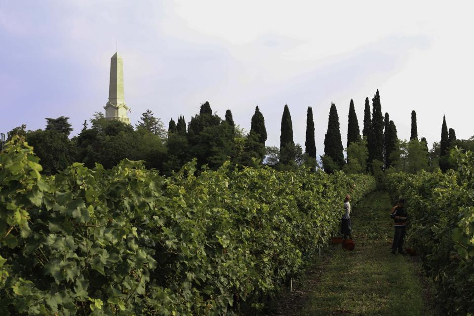 Vineyard in Bardolino