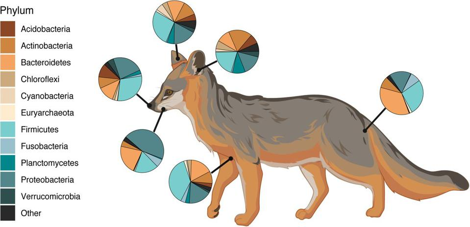figure showing the microbial composition of six body sites sampled on a Catalina Island Fox