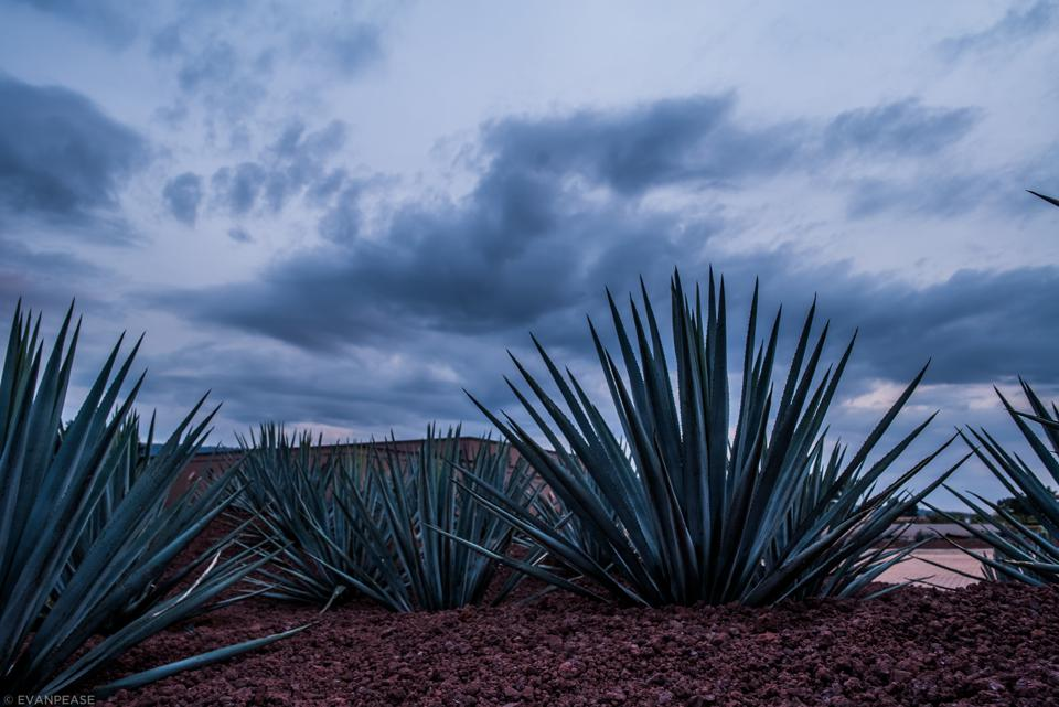 The blue agave from which tequila is derived
