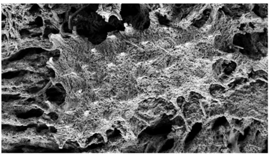 demineralized dinosaur bone showing collagen