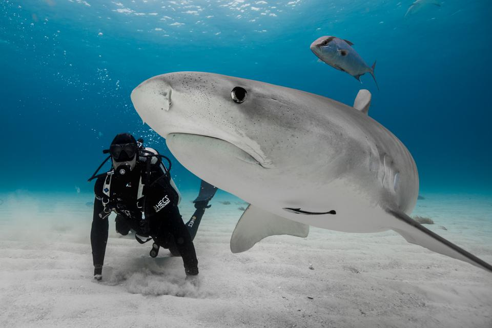 Shark attack survivor and conservationist Paul de Gelder swims with a tiger shark for Discovery Channel's Shark Week.