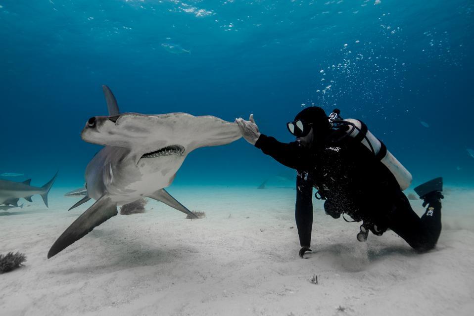 Shark attack survivor Paul de Gelder swims with a hammerhead shark for Shark Week 2019.