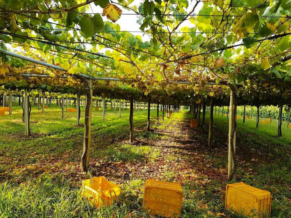 Pazo de Barrantes Vineyard