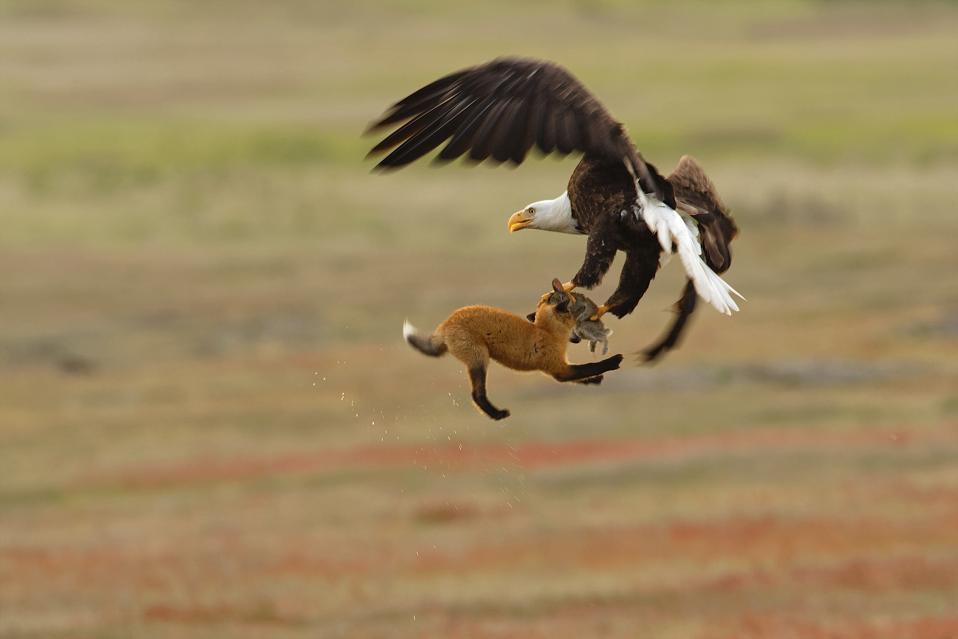 Eagle vs. fox