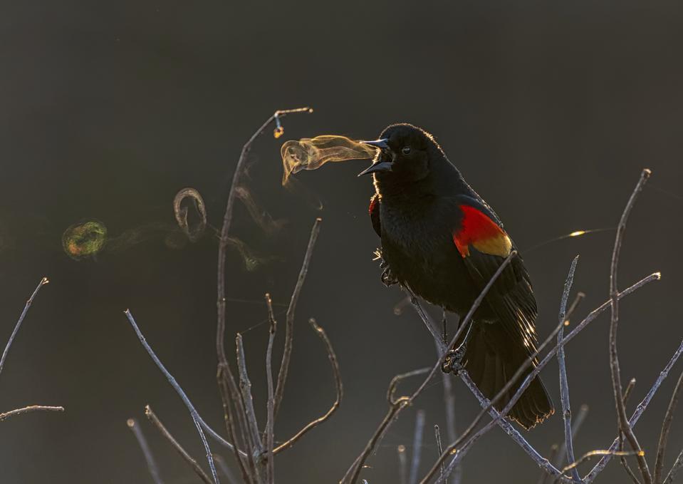 Red winged black bird.