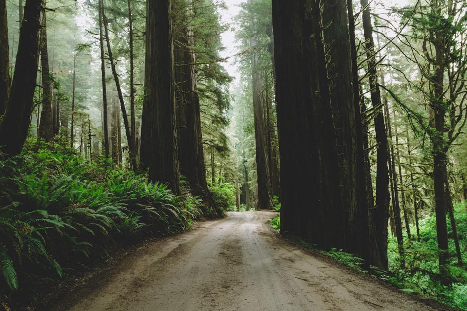 Coast redwoods in northern California