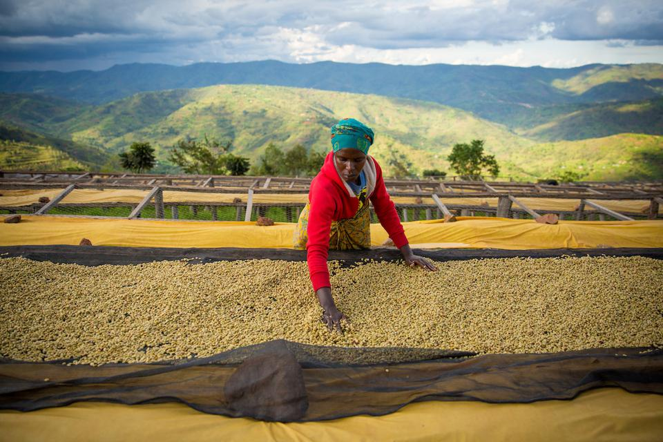 Workers at the Dukunde Kawa Cooperative of coffee farmers put freshly milled coffee beans on drying tables. Photographed on Saturday, April 29, 2017. (Joshua Trujillo, Starbucks)