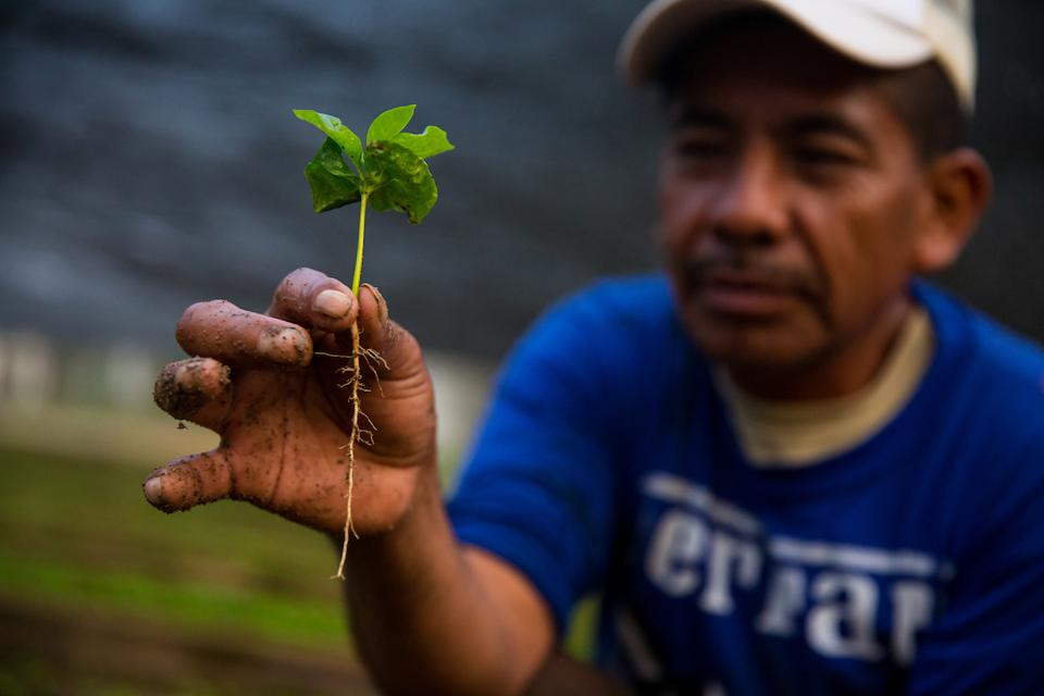 A coffee tree sprout is shown in a Chiapas, Mexico coffee tree nursery where millions of coffee trees are being grown. The trees will be given to farmers as part of the Starbucks One Tree for Every Bag program. (Joshua Trujillo, Starbucks)