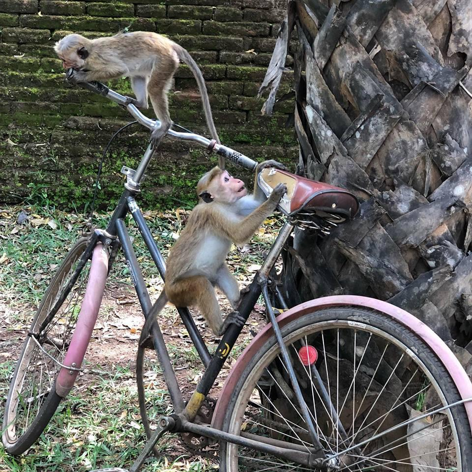 Monkeys playing on a bike.