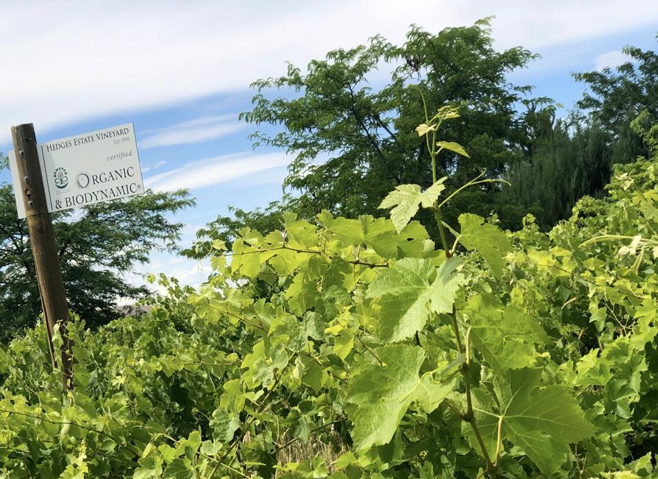 Hedges Family Estate biodynamic vineyard