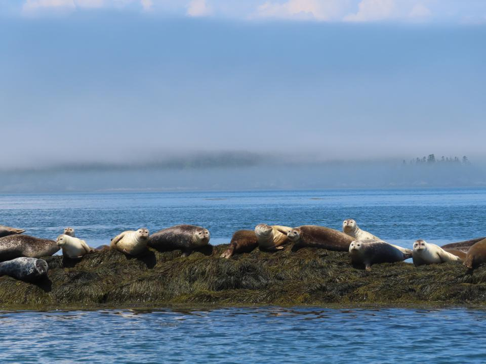 Sunbathing seals in Passamaquoddy Bay