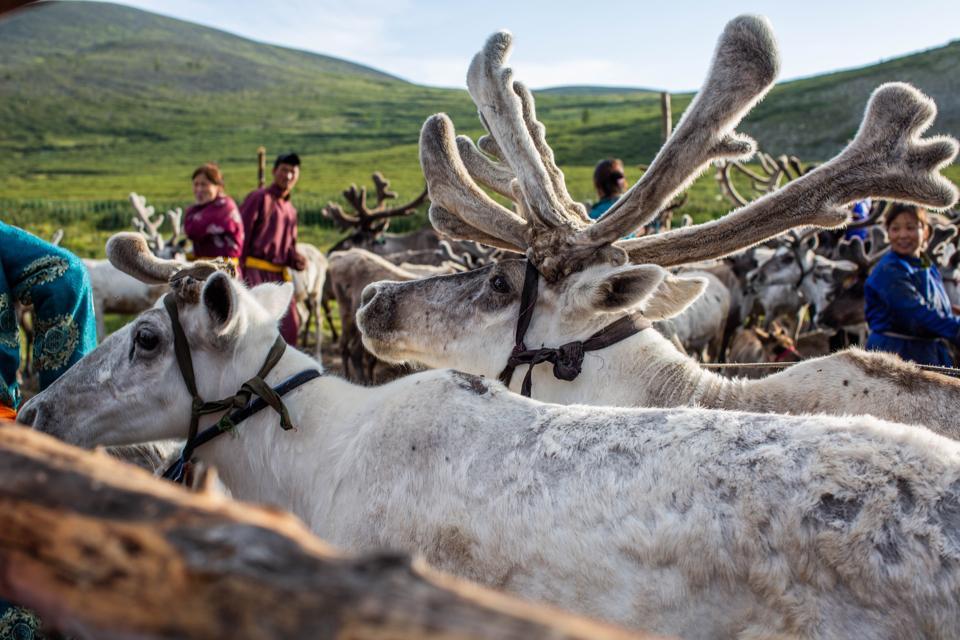 Reindeer, Mongolia