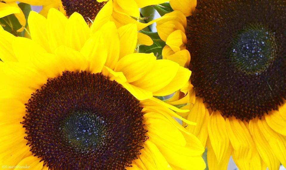 ByWard Market, sunflowers, Ottawa, Canada.