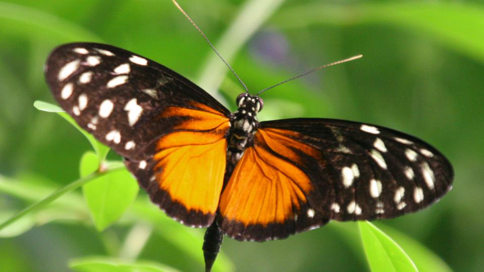 Color photo of orange and black butterfly with foliage in background