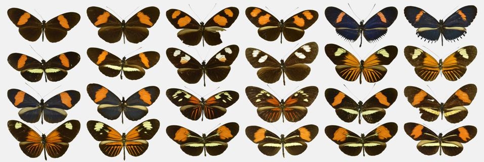 Color photo of 24 orange and black butterflies arranged in rows on a light gray background.
