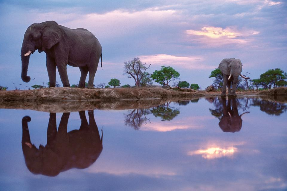 African elephants, Chobe National Park, Botswana.