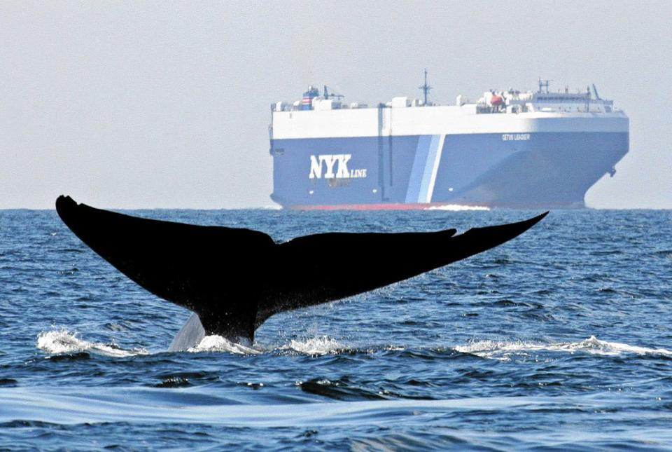 A whale off the California coast passing through a heavily-trafficked shipping lane.