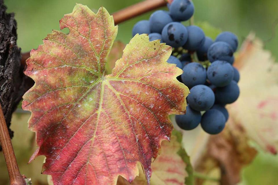 Recantina Grape Bunch in the Pat del Colmèl Vineyards
