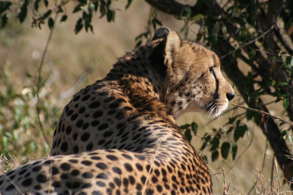 Cheetah. Africa. Kenya.