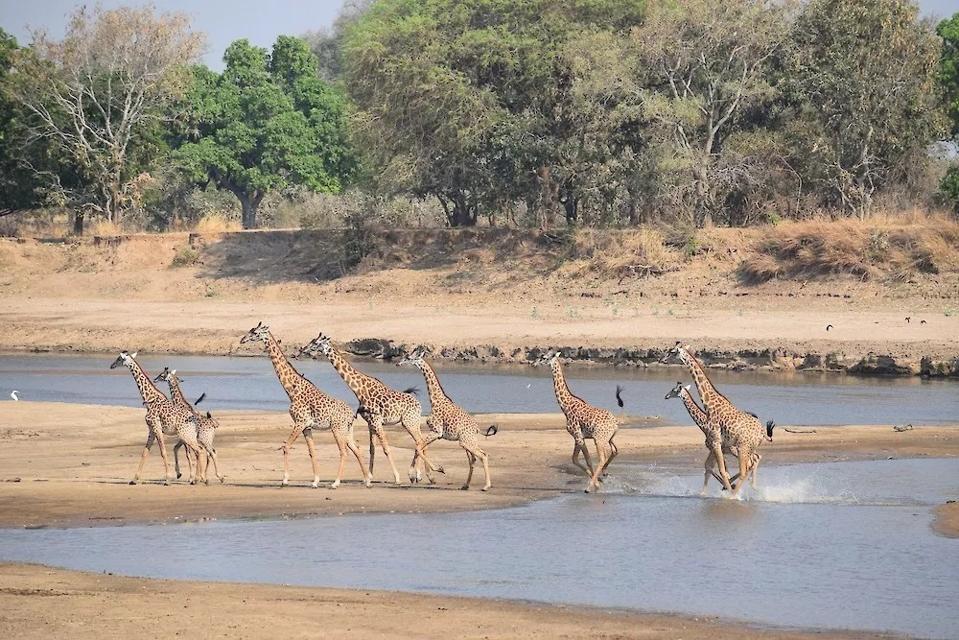 South Luangwa National Park.  Giraffe.  Zambia.